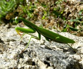 Green mantis Stock Photo 07