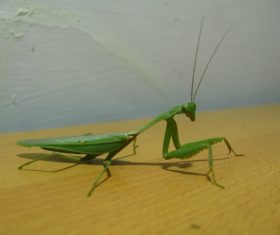 Green mantis Stock Photo 10