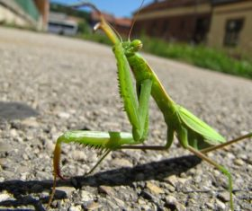 Green mantis Stock Photo 11