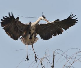 Heron carrying a branch Stock Photo 01