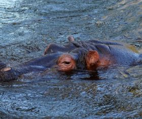 Hippo head exposed surface of the water Stock Photo 08