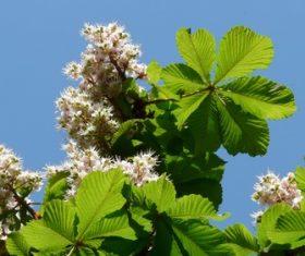 Horse chestnut flower Stock Photo 01