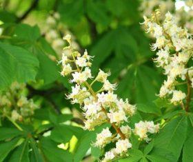 Horse chestnut flower Stock Photo 02