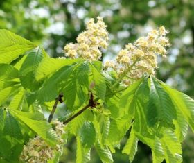 Horse chestnut flower Stock Photo 04