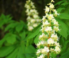 Horse chestnut flower Stock Photo 05