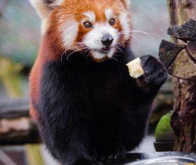 Little panda eating food Stock Photo 01