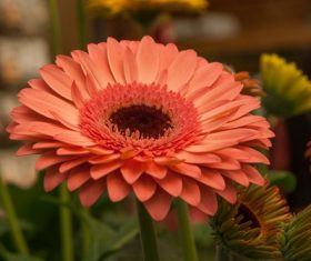Multi-colored gerbera Stock Photo 06