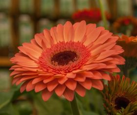 Multi-colored gerbera Stock Photo 07