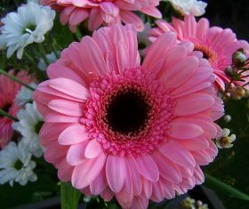 Multi-colored gerbera Stock Photo 08