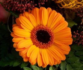 Multi-colored gerbera Stock Photo 09