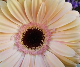 Multi-colored gerbera Stock Photo 11