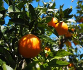 Oranges on a branch Stock Photo 01
