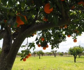 Oranges on a branch Stock Photo 02