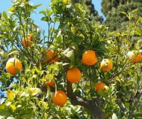 Oranges on a branch Stock Photo 03
