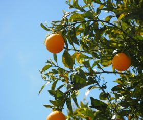 Oranges on a branch Stock Photo 04