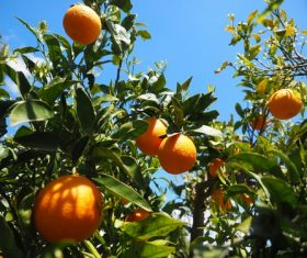 Oranges on a branch Stock Photo 05