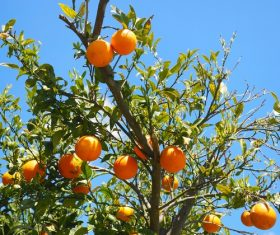Oranges on a branch Stock Photo 06