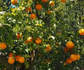 Oranges on a branch Stock Photo 07