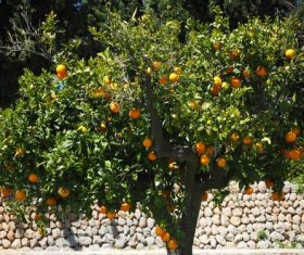Oranges on a branch Stock Photo 08