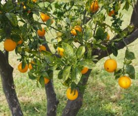 Oranges on a branch Stock Photo 09