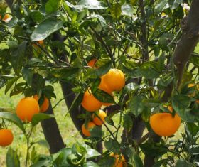 Oranges on a branch Stock Photo 10