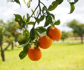 Oranges on a branch Stock Photo 11