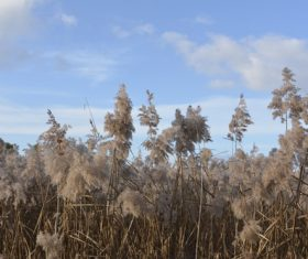 Reeds in the autumn wind Stock Photo 03