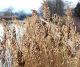 Reeds in the autumn wind Stock Photo 04
