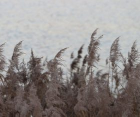 Reeds in the autumn wind Stock Photo 05