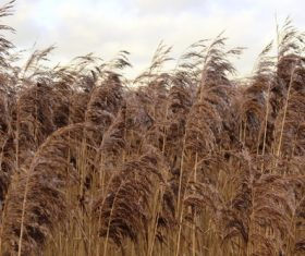 Reeds in the autumn wind Stock Photo 09
