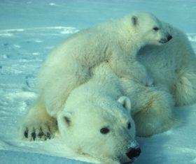 Stock Photo Cute polar bear