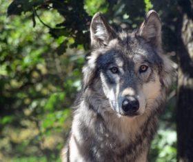 Stock Photo Fierce wild wolf 01