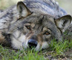 Stock Photo Fierce wild wolf 02