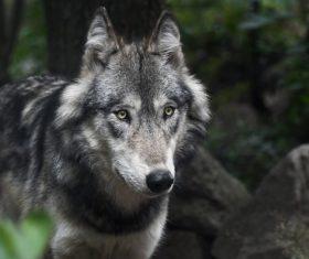 Stock Photo Fierce wild wolf 03