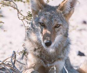 Stock Photo Fierce wild wolf 04