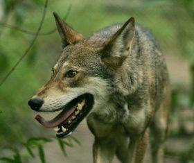Stock Photo Fierce wild wolf 06