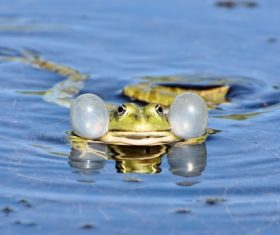 Stock Photo Frog in the water