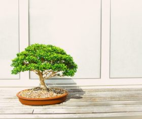Stock Photo Lobular banyan tree bonsai