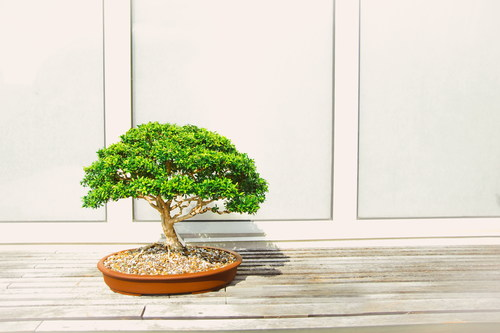 Stock Photo Lobular banyan tree bonsai