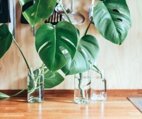 Stock Photo Monstera ceriman plant close-up on the table