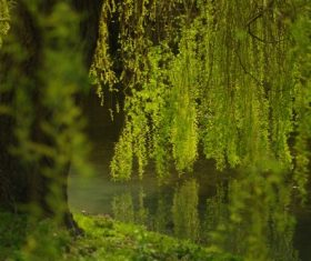 Stock Photo Weeping willow by the river 03