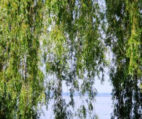 Stock Photo Weeping willow by the river 05