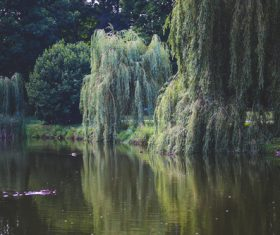 Stock Photo Weeping willow by the river 06
