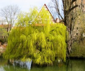 Stock Photo Weeping willow by the river 07