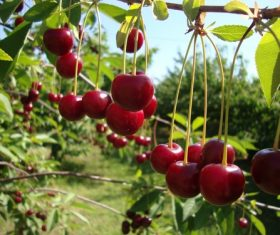 Sweet cherries on the branches Stock Photo 02