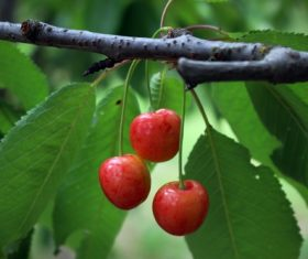 Sweet cherries on the branches Stock Photo 04