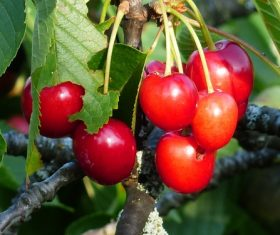Sweet cherries on the branches Stock Photo 06