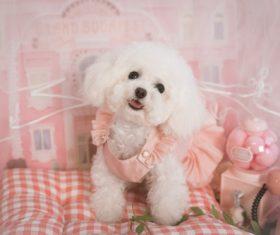 White Teddy dog Stock Photo 01