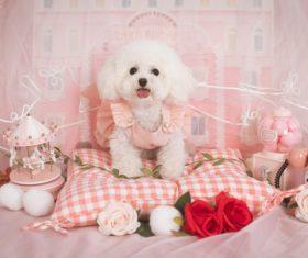 White Teddy dog Stock Photo 02