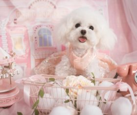 White Teddy dog Stock Photo 03